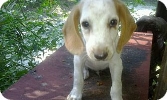 Foxhound Mix Puppy for adoption in Old Town, Florida - Jack