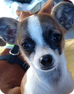 Chihuahua Mix Puppy for adoption in San Diego, California - Collin