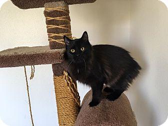 Manx Cat for adoption in Rosamond, California - Sebastian
