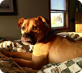 Boxer/English Bulldog Mix Dog for adoption in Mentor, Ohio - ZEKE**2 YR OLD LOVEBUG!!