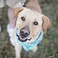 Labrador Retriever Dog for adoption in Kingwood, Texas - Maximo