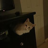 American Shorthair Cat for adoption in Pembroke Pines, Florida - Orange