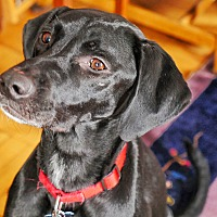 Labrador Retriever/Pointer Mix Dog for adoption in New York, New York - Bella!