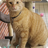 Domestic Shorthair Cat for adoption in Bradenton, Florida - Noel
