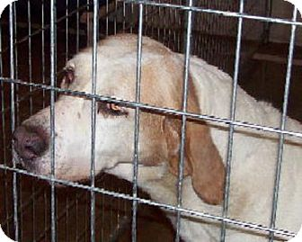 English (Redtick) Coonhound/Hound (Unknown Type) Mix Dog for adoption in Ontario, Ontario - Peter-ADOPTED!