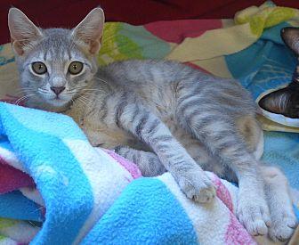 Domestic Mediumhair Kitten for adoption in Manning, South Carolina - Jasmine