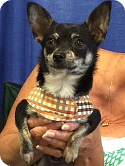 Chihuahua Mix Dog for adoption in Salem, Oregon - Buddy