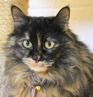 Domestic Longhair/Domestic Shorthair Mix Cat for adoption in Glendale, Arizona - Carnivale