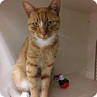 Domestic Shorthair Cat for adoption in Monroe, New York - Oliver