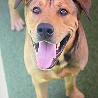 Rhodesian Ridgeback Mix Dog for adoption in Ft. Lauderdale, Florida - Noah
