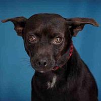 Adopt A Pet :: BLACKJACK - Downey, CA