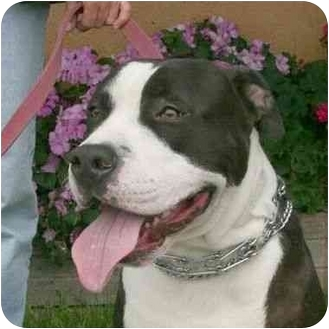 American Pit Bull Terrier Mix Dog for adoption in Berkeley, California - Luther