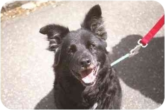 Border Collie Mix Dog for adoption in Long Beach, New York - Nora