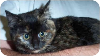 Domestic Mediumhair Kitten for adoption in Culpeper, Virginia - Sarah