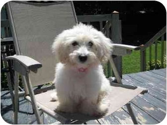Bichon Frise/Maltese Mix Puppy for adoption in Hagerstown, Maryland - Ginny