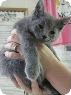 Domestic Shorthair Kitten for adoption in Spruce Pine, North Carolina - Moon Beam