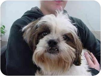 Shih Tzu Mix Dog for adoption in Marshalltown, Iowa - Roger