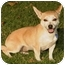 Photo 1 - Chihuahua/Dachshund Mix Dog for adoption in Marina del Rey, California - Stacey