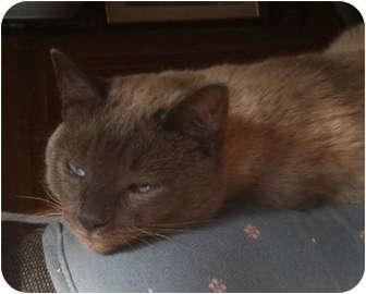 Siamese Cat for adoption in Norwich, New York - Mr. Cat