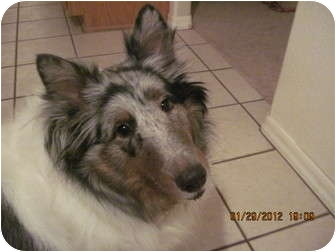 Sheltie, Shetland Sheepdog Dog for adoption in apache junction, Arizona - Tiffany