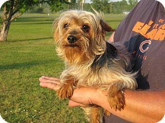 Yorkie, Yorkshire Terrier Dog for adoption in Salem, New Hampshire - Tatum