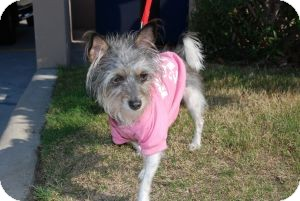 Chinese Crested Mix Dog for adoption in Sugar Land, Texas - Lindi