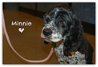 Cocker Spaniel Mix Dog for adoption in Northville, Michigan - Minnie