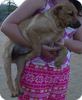 German Shepherd Dog/Labrador Retriever Mix Puppy for adoption in Corona, California - MARY ANNE