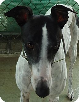Greyhound Dog for adoption in Longwood, Florida - Backwood Janet