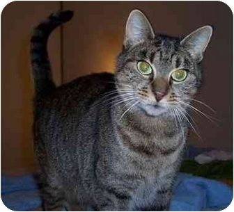 Domestic Shorthair Cat for adoption in Feeding Hills, Massachusetts - Daphne