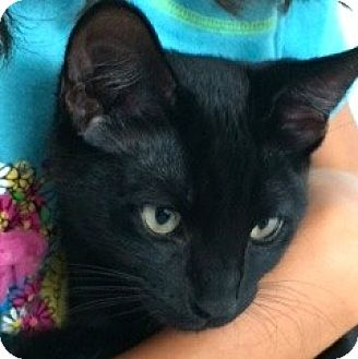 Domestic Shorthair Kitten for adoption in Novato, California - Blackie & Precious