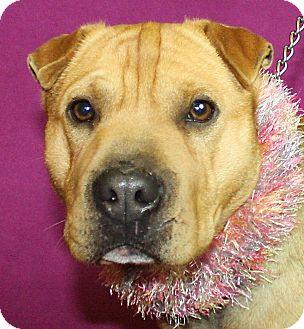 Shar Pei Mix Dog for adoption in Jackson, Michigan - Dawn