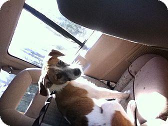 Terrier (Unknown Type, Medium) Mix Puppy for adoption in Fairfield bay, Arkansas - Castro