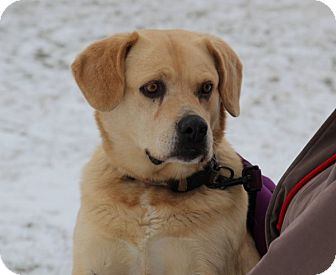 Pug/Labrador Retriever Mix Dog for adoption in Elyria, Ohio - Jesse