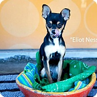 Adopt A Pet :: Eliot Ness - Shawnee Mission, KS
