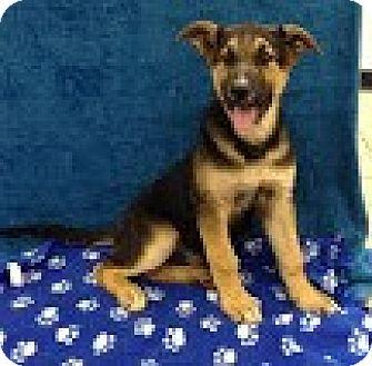 German Shepherd Dog/Labrador Retriever Mix Puppy for adoption in Allentown, New Jersey - General