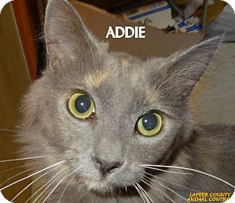 Calico Cat for adoption in Lapeer, Michigan - ADDIE--BEAUTIFUL-FEE WAIVED