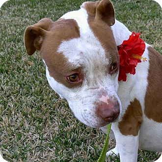 Pit Bull Terrier/Terrier (Unknown Type, Medium) Mix Dog for adoption in Portland, Oregon - ANGEL
