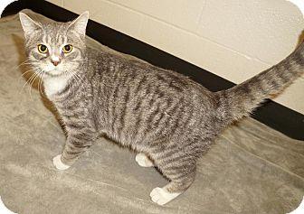 Domestic Shorthair Cat for adoption in Lexington, North Carolina - Duffy