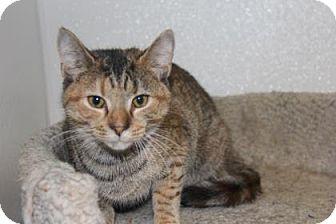 Domestic Shorthair Cat for adoption in Greensboro, North Carolina - Shanika