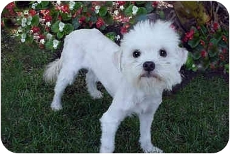 Lhasa Apso/Poodle (Miniature) Mix Dog for adoption in Los Angeles, California - BILLY