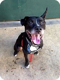 Labrador Retriever/Pit Bull Terrier Mix Dog for adoption in Vista, California - Charger