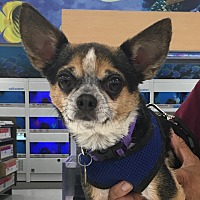 Chihuahua Mix Dog for adoption in Studio City, California - Tommy