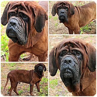 Mastiff Dog for adoption in Forked River, New Jersey - Ripley