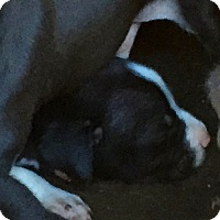 American Staffordshire Terrier/American Pit Bull Terrier Mix Puppy for adoption in Corona, California - Kevin Swayne, Banning Pit Pup