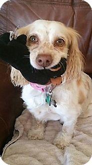 Cocker Spaniel Mix Dog for adoption in Sacramento, California - Haley