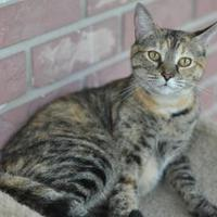 Adopt A Pet :: Calli (Cocoa Center) - Cocoa, FL