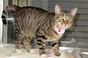 Domestic Shorthair Cat for adoption in Indiana, Pennsylvania - Izzy