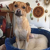 Beagle/Fox Terrier (Smooth) Mix Dog for adoption in Glastonbury, Connecticut - Drezner