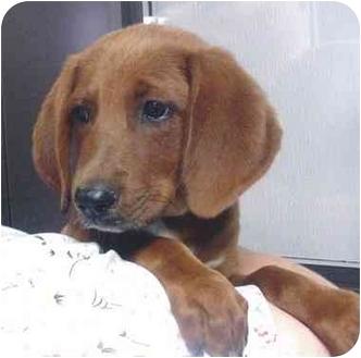 Redbone Coonhound Mix Puppy for adoption in Manassas, Virginia - Bean